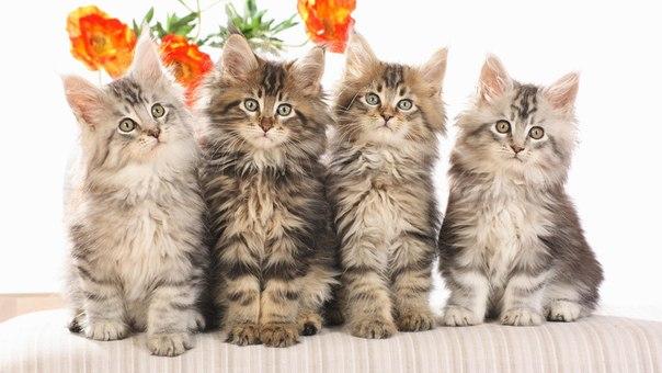 Майкун кошки в Твери.