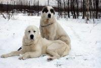Считается, что среднеазиатская овчарка происходит от древних догоподобных собак Тибета, однако, судя.