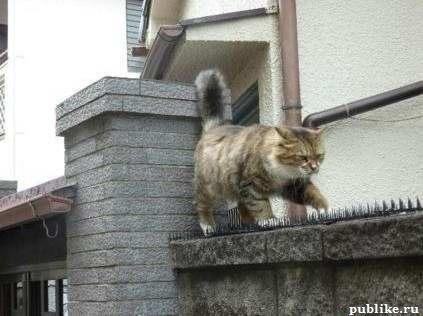 кот который ходит по шипам