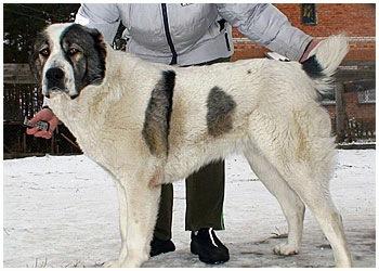 алабай азиатская овчарка.