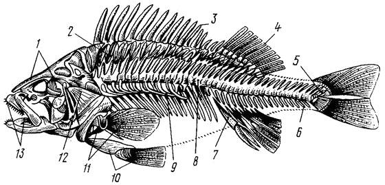 Особенности строения рыб, особенности внешнего и внутреннее строение рыбы, строение костных и хрящевых рыб, скелет рыб.