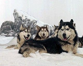 """Термин  """"хаски """" изначально обозначал самих эскимосов, так их называли..."""