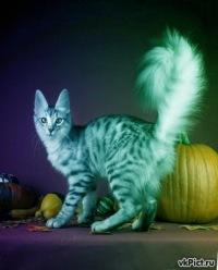 Подергивание хвоста.  Это обычно означает, что кошка чем-то сильно увлечена, например, игрушкой.  Тем не менее, это...