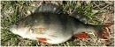 Все зависит от размеров рыбы, от сезона ловли и от того