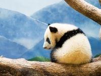 """Часть 2. Часть 3.  """"Часть 1. Панды в Китае переживают бэби-бум после землетрясения."""