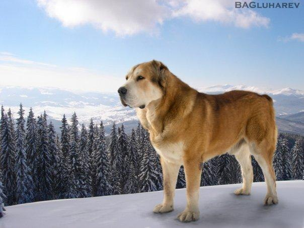 Фотографии Щенки алабая (среднеазиатская овчарка) от Чемпионов России.