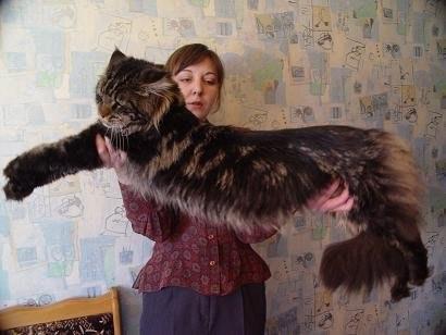 А это самые большие коты в мире Мэйн-куны.  Как маленькие рыси.  Ух!