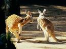 Kangaroos in Australia Artistic Photo.