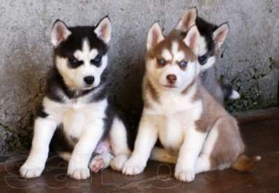 Фото: Продам породистых щенков хаски.  Собаки, щенки, Россия, Москва, цена.