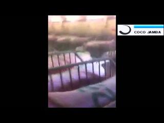 Дрессированные свиньи ПОЗАКРИВАЛИ ПИЗДАКИ !!!