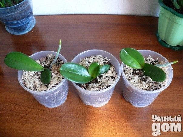 Как взять отросток у орхидеи без вреда для растения? Орхидея в последнее время все более и более популярный цветок. ЕЕ прекрасные цветы, служат отличным украшением интерьера и элементом декора. Орхидея – это многолетнее растение, которое при правильном уходе, будет радовать глаз очень долго. Период цветения длится 6-8 месяцев. Однако и созревать бутоны могут порядка 40 дней. Так что придется запастись терпением. Однако результат превзойдет все ожидания. После приобретения одной орхидеи,…