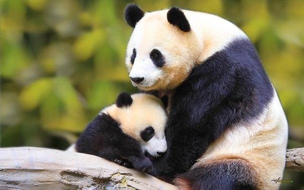 Фото панди