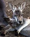 Самца кенгуру называют boomer, самку - flyer, а детеныша - joey.