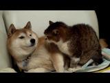 Сиба-ину *О* и какой-то котэ