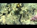 Red sea goatfish красноморская зубатая барабулька Parupeneus forsskali