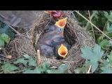 Птенцы - мимими HD