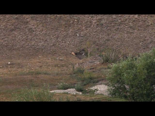 Охота на сурков (marmot hunting, Caza de marmota (el lirón)) » Freewka.com - Смотреть онлайн в хорощем качестве
