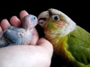 Conure Baby Parrotlet 3 (clutch 2) - 16 days old