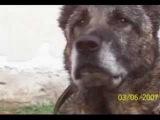 Туркменский волкодав или Алабай