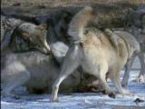 С какими серьезными хищъниками приходится сталкиваться Среднеазиатским овчаркам (АЛАБАЙ) или Туркменским волкодавам  и Кавказким