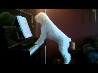великолепная игра пса на фортепиано :)
