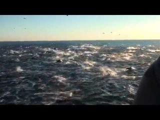 Что-то очень сильно напугало касаток, дельфинов афалин, белобочек и малых китов. Ктулху :)