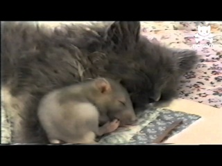 Нет страха у мыши, прижимается к коту