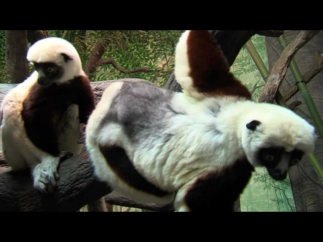 Cool New Sifaka Lemurs - Cincinnati Zoo