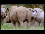 Rhinos look for love: animal mating rituals in the African jungle - BBC wildlife