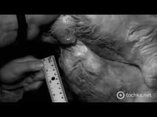 длина пениса утки смотреть онлайн
