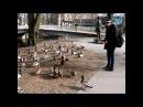 Сергей Предко Очень много крякающих уток Рига утки март 2014 Riga Ducks march Latviya Латвия