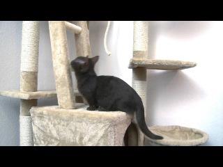 манчкин заниженый кот