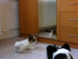 Papillon puppy and mirror