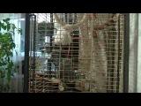 Попугай жако Григорий, разговаривает с хозяином.