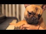French Bulldog Music Video