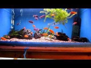 Малавийские цихлиды - Красная Зебра и Лабидохромис Хонги в аквариуме 200 литров.