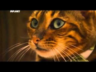 Кошка породы тойгер