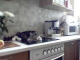 TALKING CAT who snaps on the stove - Никифор (Nikifor) - кот на плите  [OFFICIAL]