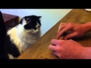Кот играет в напёрстки, как хозяевам удалось научить его - загадка!