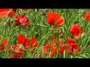 Poppies - Papaveri nel Vento