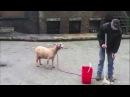 Самое смешное видео 2013 года)Козы кричат так же как люди