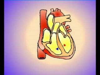 Сердечный цикл.avi