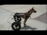 Paralyzed Double Amputee Dog in Doggon Wheels - Day 1