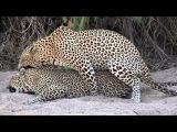 Sabi Sabi Sept10 Leopards mating
