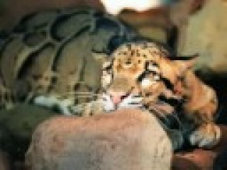 cat scratch disease photo