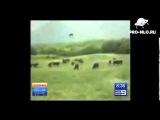 НЛО ворует коров. UFO steals a cow