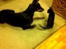 Cute Little Kitten Attacks Doberman Pinscher