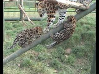 Дальневосточный леопард с котятами в зоопитомнике