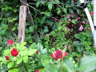 Цветы в саду, август, розы, флоксы и гортензии...