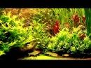 HD 1080p Rotkopfsalmler Hemigrammus bleheri Bleher's Rummy Nose Tetras